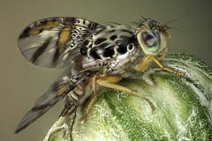 Mosca mediterranea. Ceratitis capitata. Tephritidae (dorolpi) Tags: