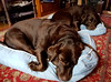 Warm and cosy - synchronised (Michael C. Hall) Tags: cushions dog labrador chocolate resting asleep bed room red rug carpet