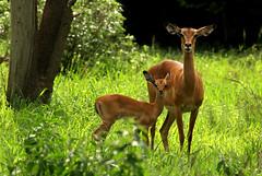 It's BAMBI TIME in Gorongosa National Park (zimbart) Tags: africa mozambique gorongosanationalpark fauna vertebrata mammals artiodactyla bovidae aepyceros aepycerosmelampus impala