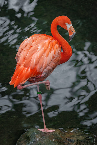 American Flamingo, National Aviary (Pittsburgh, PA)