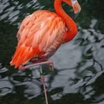 American Flamingo, National Aviary (Pittsburgh, PA) thumbnail