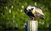 contortionist (charlidino) Tags: beach birdphotography florida green naturephotography pelican sky sonya6500 summer tamron18400