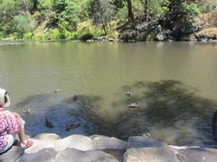 Duck watching in Warrandyte, Yarra Valley, Victoria (d.kevan) Tags: australia victoria yarravalley rivers people animals birds ducks riverbanks riveryarra rocks trees plants hillstrip warrandyte