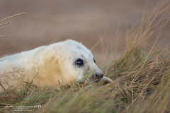 (jonathan_ed1984) Tags: seal sealpup greyseal commonseal atlanticgreyseal mammal wildlife wildlifephotographer wildlifephotography briti britishwildlife british lincolnshire donnanook nature jonathanwintlephotography canon 5dmkiii 5d3 winter autumn 2017