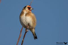 Goldfinch (mariajames414) Tags: bird goldfinch wildlife