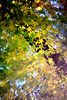 Maple 楓葉 (MelindaChan ^..^) Tags: busan skorea 釜山 maple 楓葉 plant leaf leavesbokeh treechanmelmel mel melinda melindachan