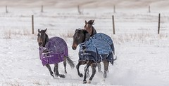 Crazy horses (Tracey Rennie) Tags: snow horses winter running galloping zoomies alberta eastofcalgary plaid theosmonds welldressed wintercoatson littledoglaughedstories