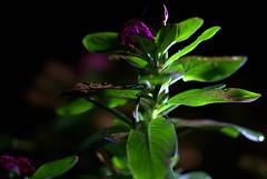 _MG_2879.CR2 (jalexartis) Tags: vinca bloom blooms flower flowers night nightphotography nightshots lighting camranger rain raincover diy
