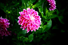 Dahlia, nice flower (Carandoom) Tags: 2017 germany allemagne frankfurt francfort flowers fleurs botanic garden jardin botanique palmengarten fleur macro dahlia brillant