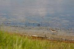 Chevalier guignette (CCphoto12) Tags: bassindarcachon chevalierguignette leteich oiseau