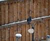 Starling in a snow storm (Matt C68) Tags: bird winter cold feeder snow snowing snowfall starling sturnus vulgaris