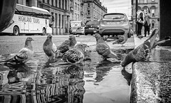 The watering hole. (Mister G.C.) Tags: blackandwhite bw image streetshot streetphotography photograph birds animals pigeons lowpov lowpointofview puddle reflection monochrome urban town city zonefocus zonefocusing snapfocus ricoh ricohgr pointshoot mistergc schwarzweiss strassenfotografie scotland glasgow britain greatbritain gb british uk unitedkingdom europe