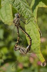 Dragonflies (m&em2009) Tags: dragonflies insect bug mating pair nikon d7000 macro closeup 60mm