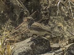 Madagascan Lark (Eremopterix hova) (Peter du Preez) Tags: madagascan lark eremopterix hova