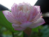 Sacred Lotus 'Fen Ling Long 13' Wahgarden Thailand 001 (Klong15 Waterlily) Tags: lotus thailandlotus flower lotusflower pond pondplant landscape nelumbonucifera