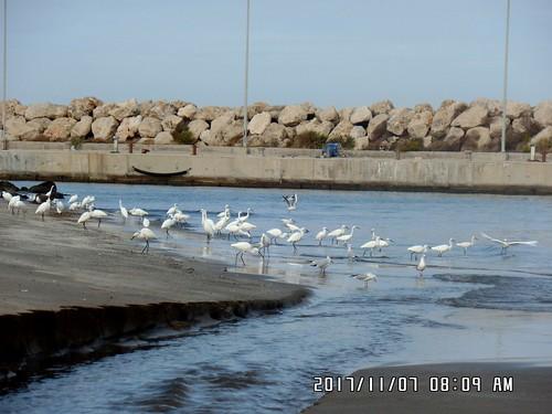 """طيور """" أبو سعد """" .. تبحث عن وجبة الفطور على شاطئ مدينة بانياس - سوريا"""