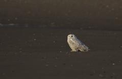 Snowy owl - Staten Island, New York (superpugger) Tags: owl owls bird birds birding winterbirds wildlifephotography snowyowl snowyowls irruption arctic arcticwildlife nature migration outside statenislandwidlife statenislandnature newyorkcitywildlife newyorkcitynature