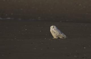 Snowy owl - Staten Island, New York