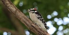 Pic mineur mâle (francepar95) Tags: picmineurmâle bokeh downywoodpecker picoidespubescens backyard