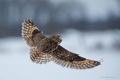 a big spread (Earl Reinink) Tags: bird animal nature wildlife winter snow earl reinink earlreinink niagara nikon owl raptor wings flying shortearedowl oitdodtdoa outside