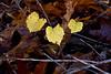 IMG_0016 Grape over Oak (oldimageshoppe) Tags: leaves wildgrape morningdew openshade morninglight fall