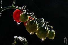 Tomatoes in Space (The Open Wall (Grant)) Tags: november space nature flora flower outdoors art light sun tomato blur poppy exposure natur noir america contrast orion star fotografíavisión green black december lady macromondays red sky