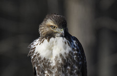 Hawk on the Hunt (hd.niel) Tags: hawk raptor nature wildlife photography ontario redtailed sundaylights