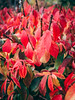 Red autumn. (LukSusPhoto) Tags: colors flowers nature stadtpark wien