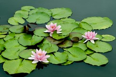 The Three Graces (Anne Marie Clarke) Tags: waterlilies pink pond lilypads 7dwf friday flora