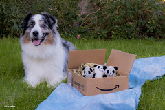 45/52 A new family of pandas have arrived from the Amazon...(.com) (Jasper's Human) Tags: 52weeksfordogs 52wfd aussie australianshepherd amazon panda