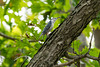Lunch (matthewthecoolguy) Tags: blue bird lunch worm food eating nature forest tree brach leaves green brown white bokeh sony sonyalpha sonya7rii