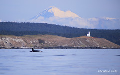 Orca Landscape (ChristineGibbs) Tags: eos canon canon75300mm usa canada whales whalewatching orca killerwhales pod southernresident mtbaker boat water sea