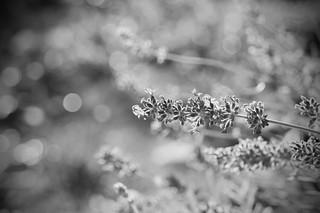 lavender–keh