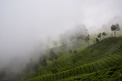 India - Kerala - Munnar - Tea Plantagen - 201 (asienman) Tags: india kerala munnar teaplantagen asienmanphotography