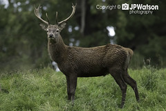 Magnificent Stag Glaring