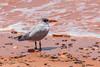 20171105-005-Broome Bird Observatory-Flickr.jpg (Brian Dean) Tags: wa caravaning slideshow caspiantern 2017tour facebook birds broomebirdobservatory flickr