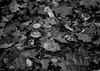 puddle on leaf (Rene_1985) Tags: leica m 240 zeiss distagon 35mm distagont1435 14 monochrom bw sw leafs blätter herbst autumn