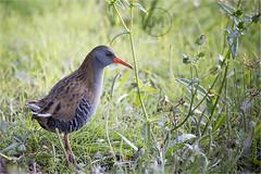 aves acuaticas 2017.13 (jumoga2011) Tags: aves acuaticas rascon rallusaquaticus canon7d sigma150500 laguna charcas rio jumoga2011