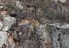 peregrine falcon (Falco peregrinus)-4335 (rawshorty) Tags: rawshorty birds canberra australia act
