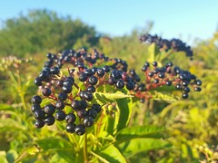 Sambucus ebulus (Iggy Y) Tags: sambucusebulus sambucus ebulus summer blossom field plant fruit dark color berry black berries abdovina elderberry dwarfelder green leaves sunny day light