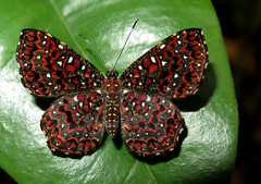 Calydna jeannea (Camerar) Tags: butterfly calydna calydnajeannea peru riodinidae butterflies insect