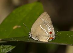 Strephonota strephon. ( BlezSP) Tags: lycaenidae peru puertomaldonado madrededios faunaforever boca pariamanu