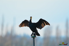 A-LUR_1932 (OrNeSsInA) Tags: trasimeno uccelli bird natura italia umbria castiglionedellago ornessina lucarosi nikon tamron byrd lago chiusi siena perugia aironi cormorani
