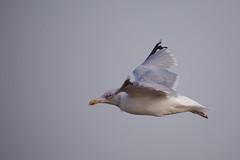 Goeland argenté-0014 (philph0t0) Tags: goélandargenté larusargentatus europeanherringgull goéland argenté larus argentatus european herring gull seagull bird oiseau beach plage sea mer