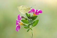 In-A-Gadda-Da-Vida... (Zbyszek Walkiewicz) Tags: butterflies butterfly sony closeup coth5 ngc npc