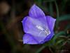 Dernière couleur avant l'hiver (minelflojor) Tags: violet herbe macro terre tige vert automne pistil fleur purple grass earth stem green autumn flower