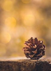 Autumn bokeh (Ro Cafe) Tags: macro pinecone garden bokeh autumn golden nikkormicro105f28 nikond600