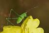 Leptophyes punctatissima (Horst Beutler) Tags: leptophyespunctatissima tettigoniidae leptophyes orthoptera punktiertezartschrecke zartschrecke laubheuschrecke speckledbushcricket cricket wildlife pentax k5iis smcpentaxdfa100mmf28macrowr smcpentaxfafadapter17x copyrighthorstbeutlerphotography