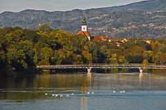 A company of swans crossing the Drava river (Matjaž Skrinar) Tags: 1025fav 100v10f 250v10f