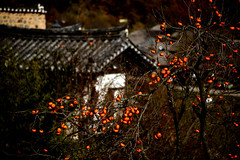 Rooftop and persimmons (MelindaChan ^..^) Tags: 柿 persimmon bird fruit tree yangdong folk village 良洞村 yangdongfolkvillage 村 gyeongju skorea 韓國 慶州 fly chanmelmel mel melinda melindachan house roof rooftop